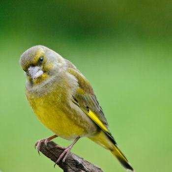 Connaissez vous les oiseaux des villes blog bio sant for Oiseau jaune france