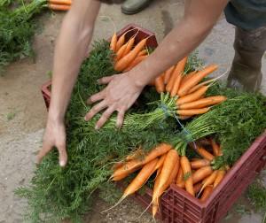 amap-carottes-distribution